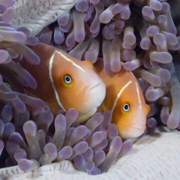 anemonefishtwo
