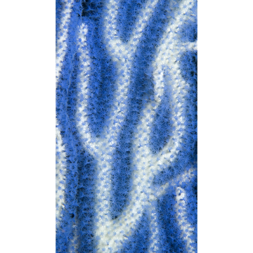 bluecoral