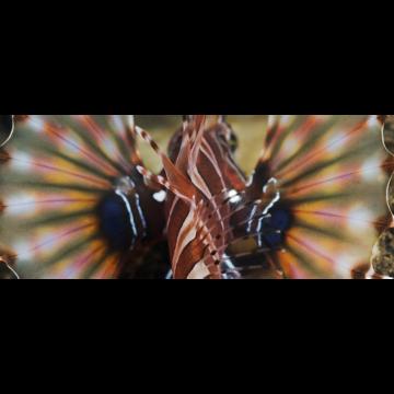 butterflyfins