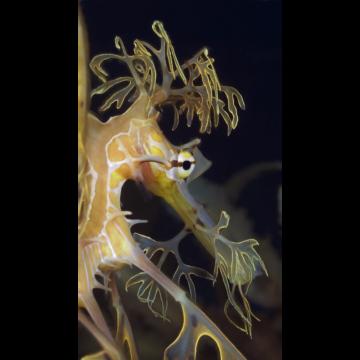 seadragonvertical