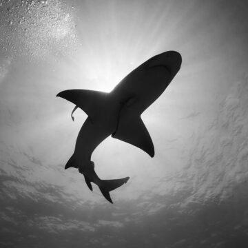 tiburonmonochrome
