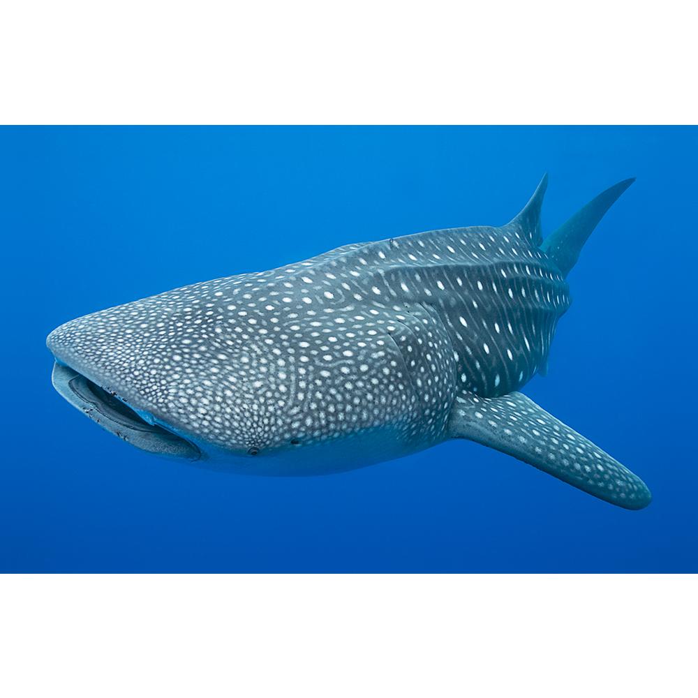 whale shark glen cowans